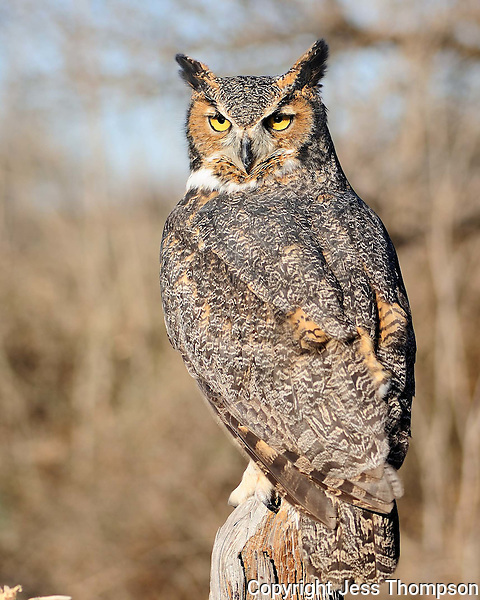 Great-horned Owl, TX