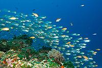 schooling cardinalfish, Rhabdamia gracilis, Amami-ohsima island, Kagoshima, Japan, Pacific Ocean