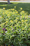 BRASSICA RAPA 'CANTON DWARF TYPE', PAK CHOY, FLOWERS
