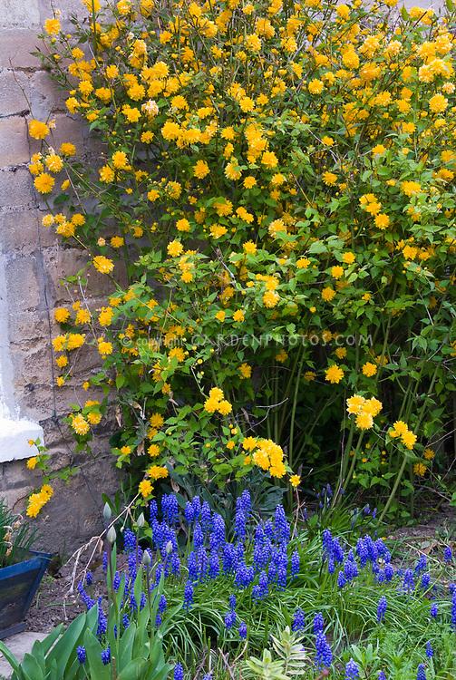Kerria japonica Flore Pleno & Muscari spring blue bulbs grape hyacinths, yellow and blue theme flowers
