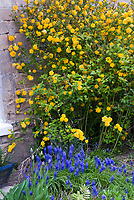 Kerria japonica Flore Pleno & Muscari spring blue bulbs grape hyacinths, yellow and blue theme flowers
