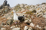Western Gull (Larus occidentalis) on nest with eggs, South Farallon Islands, Farallon Islands, Farallon National Wildlife Refuge, California