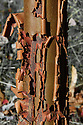 Peeling bark of paper-bark maple (Acer griseum), late October.