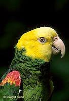 PA01-002z  Yellow-headed Amazon Parrot - Amazona ochrocephala