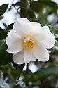 Camellia japonica 'Lily Pons', late March.