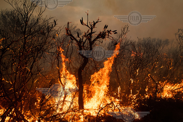 Flames rises from trees and undergrowth during a major fire that burnt much of Sydney's North Head. The fire spread after a NSW National Parks hazard reduction burn jumped containment lines and quickly got out of control forcing the evacuation of nearby residents and the destruction of 90 hectares of bushland. Increasingly, as science continues to inform us that climate change is having an enormous impact on the frequency and intensity of weather related events, the windows for optimal hazard reduction burn conditions are becoming smaller.
