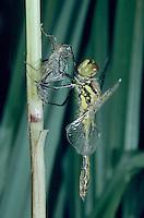 Black Darter, Sympetrum  danae, adult emerging from larval case , Rothenturm, Switzerland, September 1995