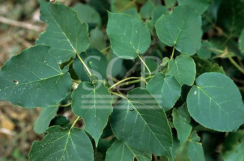 Lolgorian, Kenya. Siria Maasai medicinal plant 'Enkeparke'; root tea for de-worming, including tape worm. Abutilon mauritianum.