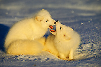 Two arctic fox (Vulpes lagopus) being playful.