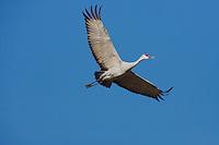 Sandhill Crane (Grus canadensis), Sinton, Corpus Christi, Coastal Bend, Texas, USA