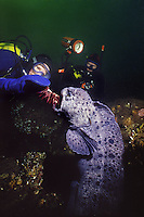 Scuba diver feeding a Sea Urchine to a male Wolf-Eel (Anarrhichthys ocellatus) in Saanich Inlet near Victoria, British columbia Canada.