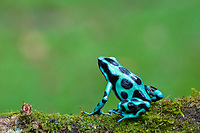 Green & Black Poison Dart Frog, Dendrobates auratus in Costa Rica.  Its bright aposematic coloration warns predators that it is poison and serves as a defense.