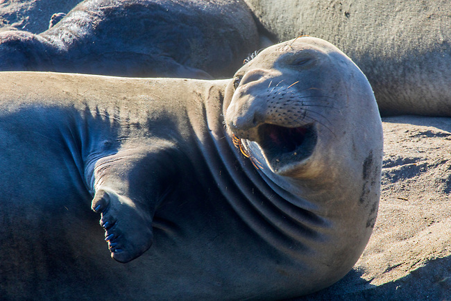 Elephant seals at Piedras Blancas Northern Elephant Seal Rookery, along  California's Central Coast.