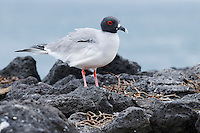 Swallow-tailed Gull (Creagrus furcatus), adult, Galapagos Islands, Ecuador, South America