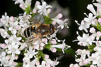 Kleine Bienen-Schwebfliege, Kleine Bienenschwebfliege, Eristalis arbustorum, Blütenbesuch, Nektarsuche, Bestäubung auf Blüte, lesser drone fly
