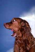 Irish setter dog yawning widely, slack-jawed with disbelief, or licking his/her lips