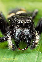 JS01-004x  Jumping Spider - male showing jaws - Phidippus clarus