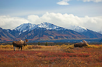 As autumn falls on Denali National Park changes in weather offer signals to the animals as well as to the plan life.   Bull moose often gather in twos or threes in advance of the upcoming rut, foraging on tender leaves of the willow and alder.