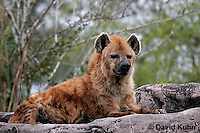 0213-08nn  Spotted Hyena, Laughing Hyena, Crocuta crocuta © David Kuhn/Dwight Kuhn Photography