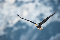Bald Eagle (Haliaeetus leucocephalus) in flight. Southeast, Alaska. December.