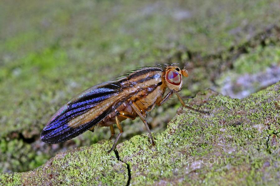 Faulfliege, Peplomyza discoidea, Faulfliegen, Lauxaniidae