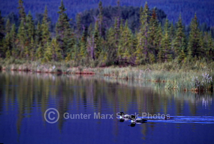 Common Loon Family (Gavia immer) swimming on Lake, BC, British Columbia, Canada