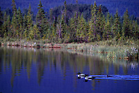 Common Loon Family (Gavia immer) swimming on Lake, BC, British Columbia, Canada