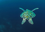 Green sea turtle (Chelonia mydas), Galapagos Islands, Ecuador<br /> This green sea turtle is a favorite because of its simplicity. It passed me while snorkeling in cool waters off the Galapagos Islands and disappeared into the deep blue depths.