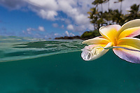 Plumeria flower afloat with palm trees in the distance off of Laniakea Beach, O'ahu