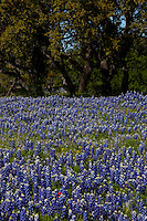 portrait view of field of Bluebonnets around Texas Live Oak Trees in the Hill Country