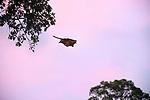 Red giant flying squirrel (Petaurista petaurista) gliding / 'flying' between tree truncks across open canopy space at dusk. Sepilok, Sabah, Borneo.