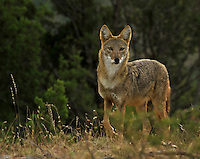 I love this Coyote! He/She almost appeared out of nowhere, looked, smelled then was gone. Photographing Coyote's is difficult at best and once they suspect something out of the ordinary they are gone!