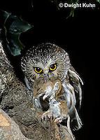 OW03-113z  Saw-whet owl - with mouse prey - Aegolius acadicus