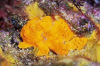 Painted flogfish, Antennarius pictus, Shikine-jima island, Tokyo, Japan, Pacific Ocean
