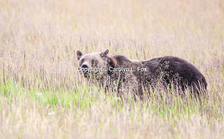 Grizzly bears are a common site in Yellowstone.