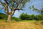 Europa, DEU, Deutschland, Baden-Wuerttemberg, Schwaebische Alb, Weilheim an der Teck, Albtrauf, Vorland der mittleren Schwaebischen Alb, Streuobstwiese, Baeume, Kirschbaum, Typische Landschaft, Natur, Umwelt, Landschaft, Jahreszeiten, Stimmungen, Landschaftsfotografie, Landschaften, Landschaftsphoto, Landschaftsphotographie, <br /> <br /> [Fuer die Nutzung gelten die jeweils gueltigen Allgemeinen Liefer-und Geschaeftsbedingungen. Nutzung nur gegen Verwendungsmeldung und Nachweis. Download der AGB unter http://www.image-box.com oder werden auf Anfrage zugesendet. Freigabe ist vorher erforderlich. Jede Nutzung des Fotos ist honorarpflichtig gemaess derzeit gueltiger MFM Liste - Kontakt, Uwe Schmid-Fotografie, Duisburg, Tel. (+49).2065.677997, ..archiv@image-box.com, www.image-box.com]