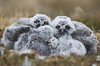 Six Snowy Owl huddle together in their nest on the Arctic tundra.