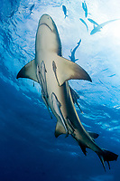 Lemon shark, Negaprion brevirostris, and remora, sharksucker, Echeneis naucrates, Little Bahama Bank, Bahamas, Caribbean, Atlantic