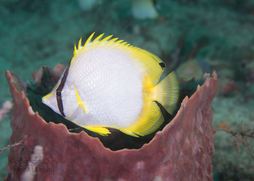 Spotfin Butterflyfish Hovering in a Barrel Sponge