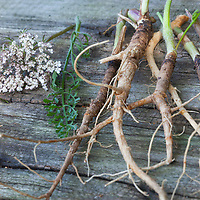 Wilde Möhre, Wurzel, Wurzeln, Wilde-Möhre-Wurzeln, Wurzelernte, Möhre, Daucus carota, Daucus carota subsp. carota, Wild Carrot, Carrot, bird's nest, bishop's lace, Queen Anne's lace, root, roots, La carotte sauvage