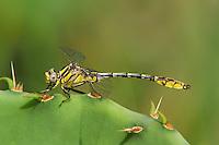 334120009 a wild male sulphur-tipped clubtail dragonfly gomphus militaris perches on an opuntia succulent plant at the southeast metropolitan park in austin travis county texas