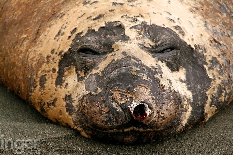 Sleeping Bull Southern Elephant Seal, Macquarie Island, Antarctica