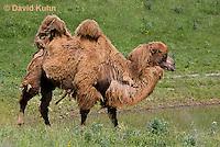 0620-1008  Bactrian Camel, Camelus bactrianus  © David Kuhn/Dwight Kuhn Photography