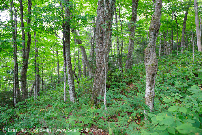 Hardwood forest on the northern slopes Mount Waternomee in Kinsman Notch of Woodstock, New Hampshire USA during the summer months.