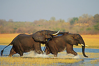 African Elephant bulls (Loxodonta africana) engaging in dominance behavior. Lake Kariba, Matusadona National Park, Zimbabwe.
