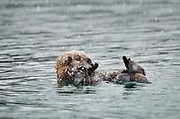 Alaskan or Northern Sea Otter (Enhydra lutris) pup in snowstorm.  Alaska.