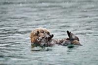 Alaskan or Northern Sea Otter (Enhydra lutris) pup in snowstorm.  Alaska.