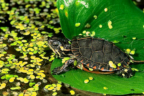 1R13-027z  Painted Turtle - sunning itself at pond with duckweed - Chrysemys picta