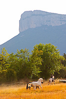 The Montagne Massif d'Hortus mountain cliff. Pic St Loup. Languedoc. Horses running free in a field. France. Europe.