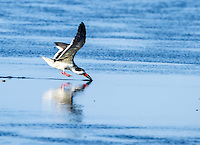 Black Skimmer in flight, dipping beak into water, feeding